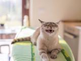 10 races de chats qui miaulent le plus