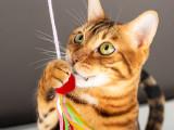 Les races de chats les plus joueurs