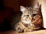 La piroplasmose chez le chat