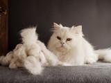 Les boules de poils chez le chat