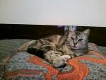 Chat chat européen Myka - Européen  (0 mois)