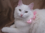 Chat Laetitia - Ragdoll Femelle (16 ans)