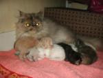 Chat dahka et les bébés   persan - Persan  (0 mois)
