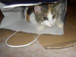 Chat vanille la chipie -   (0 mois)