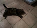 Chat cacahuéte(chat de goutiére) -   (0 mois)