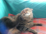 Chat Gizmo -   (0 mois)