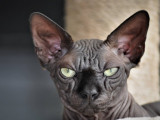 Chatterie Isis Sphynx