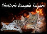 Chatterie Bangala Taigara