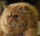 Chatterie O'sweet Persian's