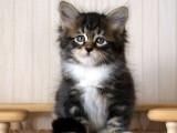 Élevage de chats sibériens