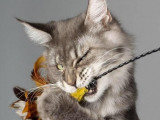 Trois Pachas Maine Coon