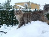 Chatterie de la Griffe Siberian