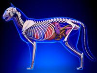 Anatomie & Morphologie du chat