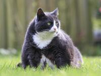 L'obésité du chat