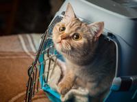 Le chat dans les transports et en voyage