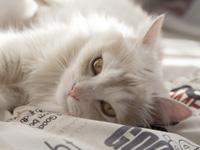 Les chats de race & Le pedigree du chat