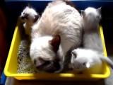 Des chatons Ragdoll découvrent la litière avec leur maman