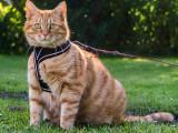 Laisse et harnais pour chat : promener son chat en laisse