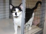 7 bonnes raisons et avantages d'adopter un chat adulte