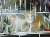Adopter un chat de laboratoire