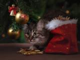 Un chat en cadeau de Noël : bonne ou mauvaise idée ?
