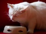 Les besoins énergétiques dans l'alimentation du chat