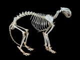 Le squelette et l'ossature du chat