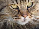 10 races de chats qui perdent peu leurs poils