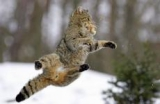 Suisse - Le chat sauvage, hôte discret du massif jurassien