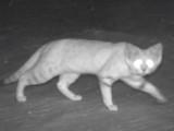 Le chat des sables manifeste sa présence en Arabie Saoudite