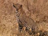 Le léopard, un chasseur grimpeur