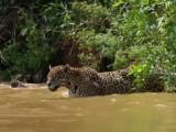 Le jaguar, un chasseur aquatique