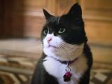 Le Ministère des affaires Etrangères Britannique recrute un chat comme chasseur de souris