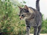 Les 10 races de chats les plus indépendantes