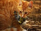 Le chat est-il une menace pour la biodiversité?