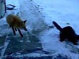 Un chat tient un renard en respect !