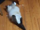 La vie d'un chaton paraplégique