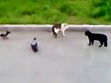 Deux corbeaux arbitrent un combat entre chats
