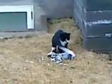 Un chat croit un pigeon mort