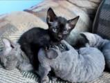 Adorables chatons Devon Rex avec leur maman