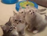 Des chatons Ragamuffin bien joueurs