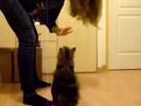 Des chats norvégiens apprennent quelques tours