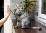 Un chat qui «tope là»