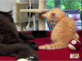 Un chaton Siberian joue sur (et dans) une table de billard