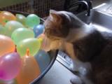 Un chat Munchkin joue avec des ballons de baudruche