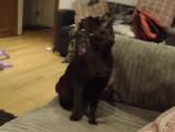 Une chatte Havana Brown qui joue à rapporter