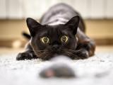 Chat chasseur : la chasse chez le chat