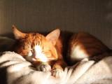 Les races de chats les plus calmes, voire paresseuses