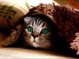 Les 10 races de chats les plus fugueurs