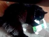 Un chat Chantilly vs boîte en carton